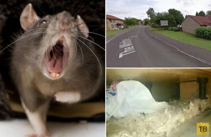 как ловить крысу днем