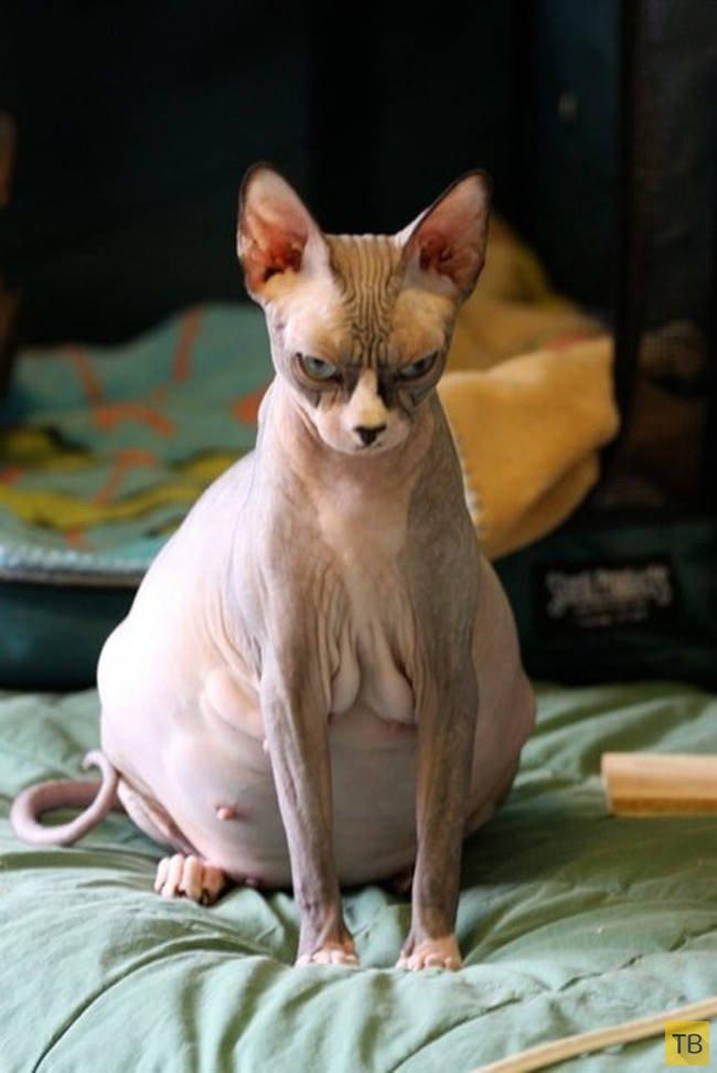 Беременна кошка сфинкс фото