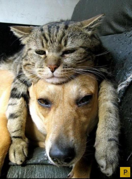 Кошки и собаки - лучшие друзья (17 фото)