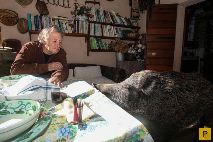 Дикий кабан живет в итальянской семье (14 фото)