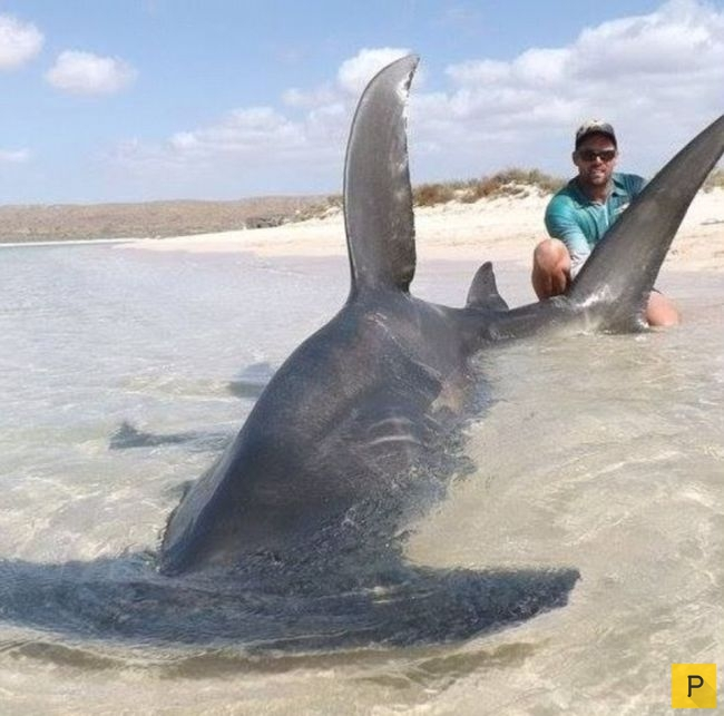 рыбак спасший акулу