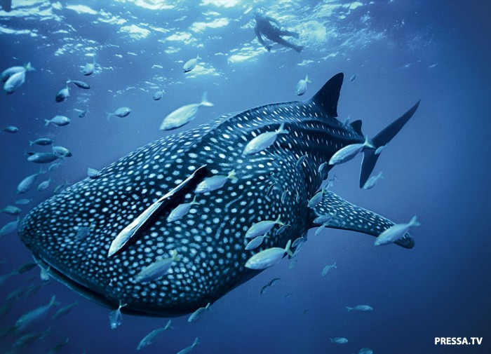 Хищные акулы - гроза морей и океанов (53 фото)