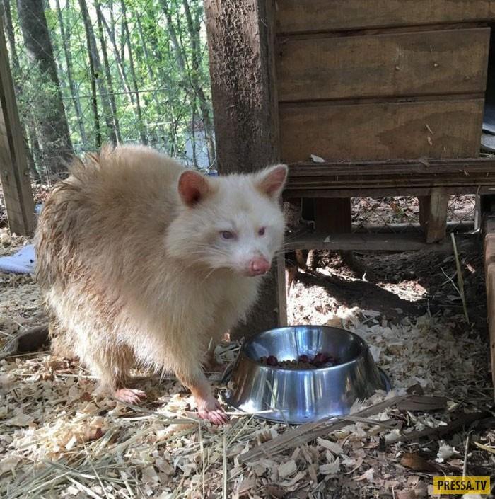 История грустной енотихи-альбиноса (12 фото)