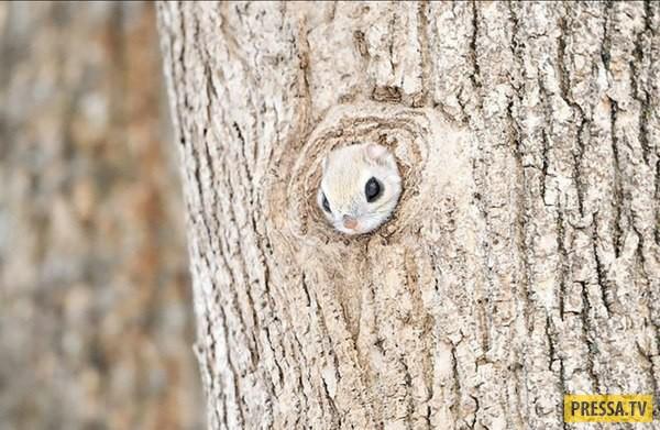 Японская белка летяга - Мамонга (6 фото)