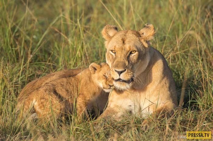 ТОП-12 интересных фактов о львах (20 фото)