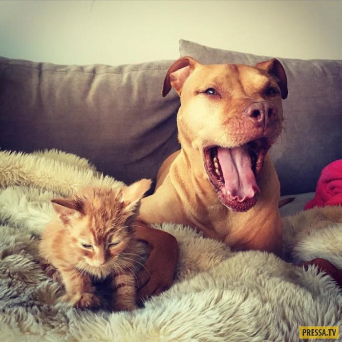 Добрый питбуль Бубба из приюта и его собственный котенок  (11 фото)