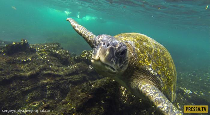 Подводная жизнь на островах Галапагосы (28 фото)