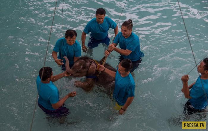 Реабилитация слонёнка, попавшего в капкан (27 фото)