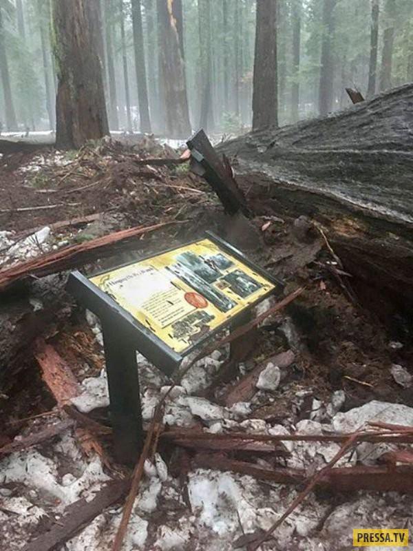 Упала последняя многовековая секвойя с тоннелем в стволе (9 фото + видео)