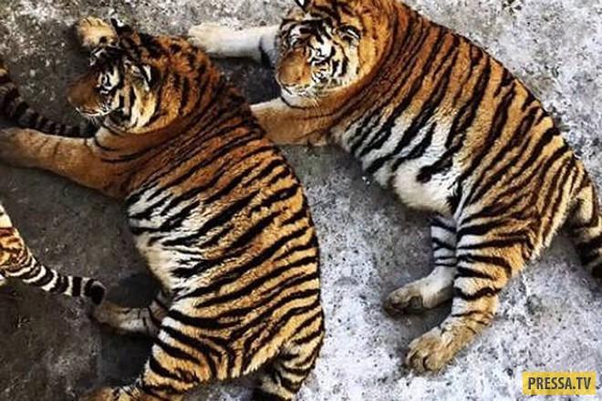 Амурские тигры растолстели в китайском зоопарке (5 фото)