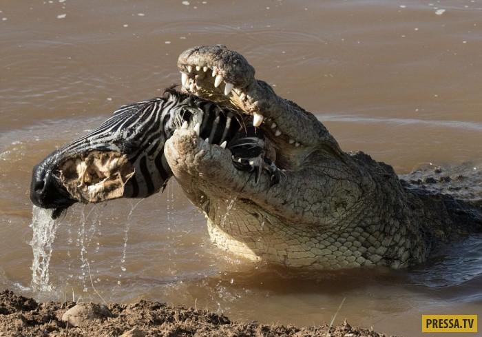 Жесткий момент охоты крокодила на зебру (14 фото)