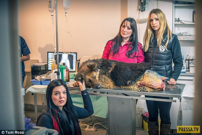 Нелюдь из Бухареста изувечил и изнасиловал овчарку (13 фото)