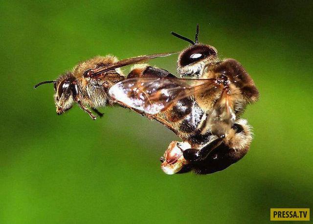 ТОП-10 актов спаривания в природе, которые смертельно опасны (10 фото)