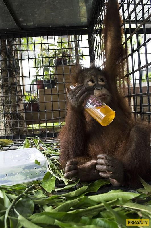 В Индонезии освободили орангутана, который полжизни повёл в тесном ящике (12 фото)