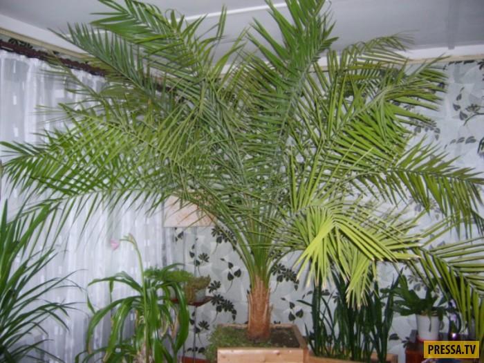 Финиковая пальма как ее вырастить в домашних условиях
