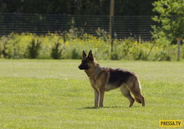 ТОП-15 самых быстрых пород собак в мире (15 фото)