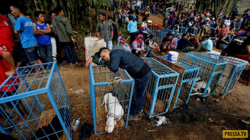 Варварское шоу в Индонезии: собаки против кабанов (8 фото + видео)