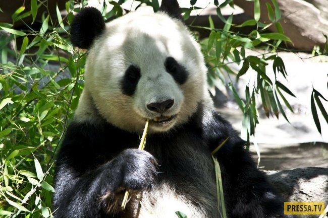 панды опасны для человека список