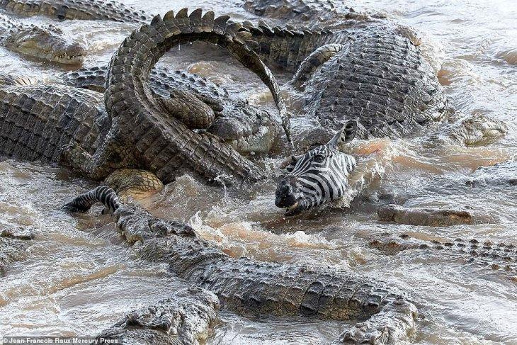 Нильские крокодилы в Кении разорвали зебру на части