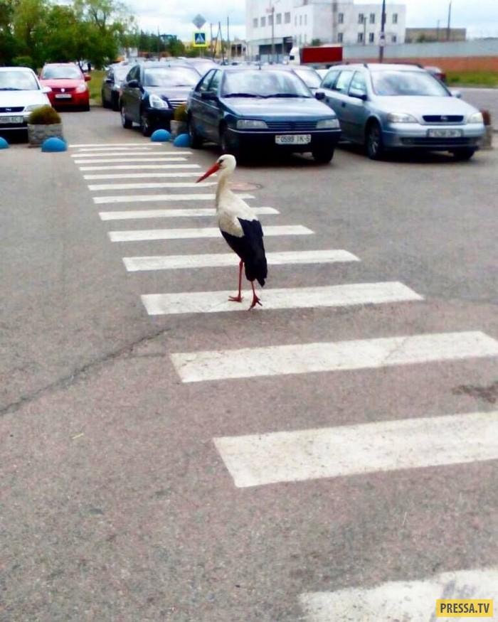 смешные фото про пешехода мифологии есть немейский