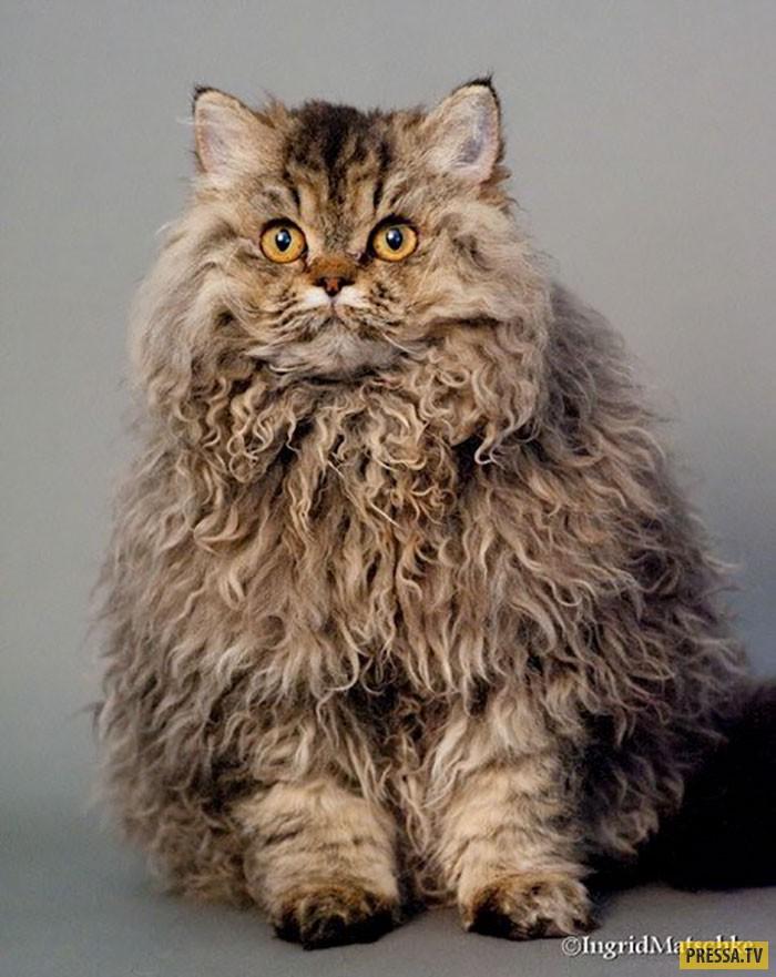 Кудрявый кот фотографии открытых