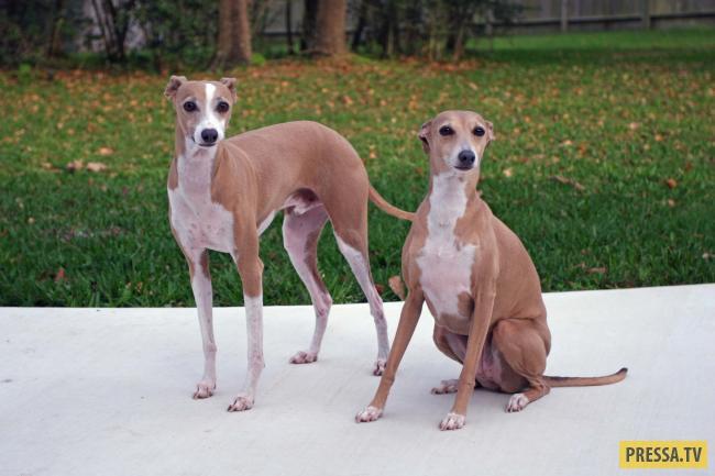 маленькие собаки с тонкими ногами