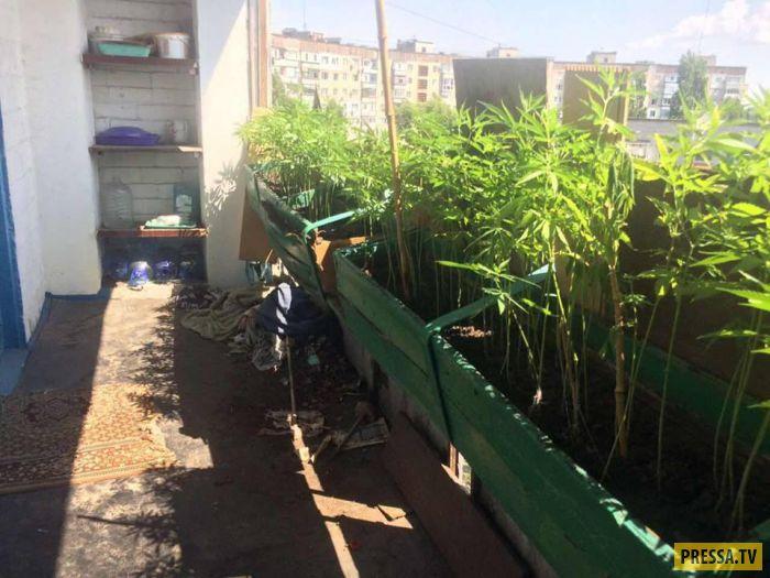 На балконе конопля конопли в открытом