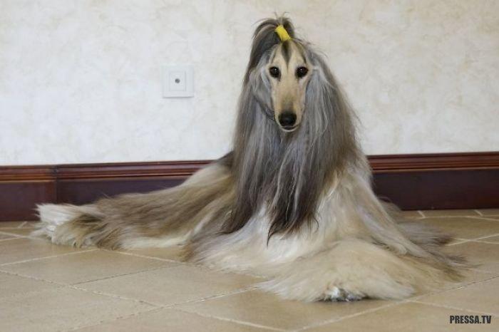 Тысячи долларов для правильного ухода за шерстью собаки