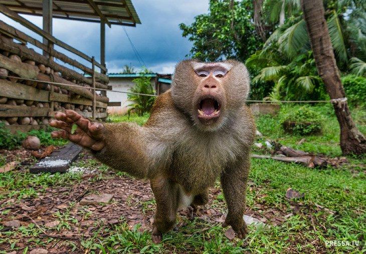 Вместо сторожевых собак - сторожевые обезьяны