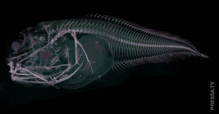 Ученые обнаружили новые виды глубоководных рыб, которые тают на поверхности  4