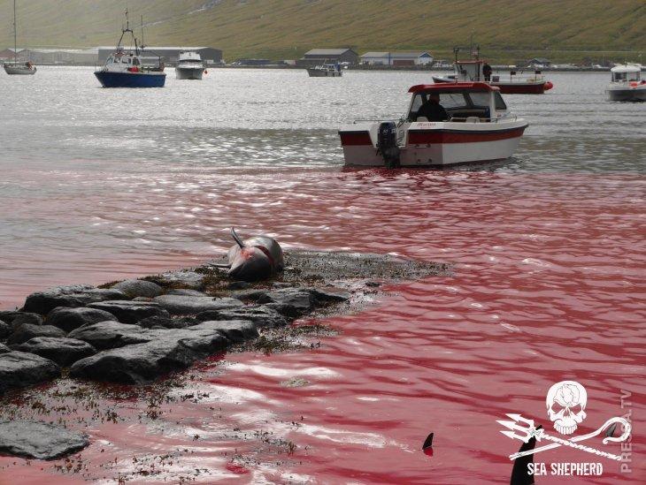 Кровавая рыбалка на Фарерах  5