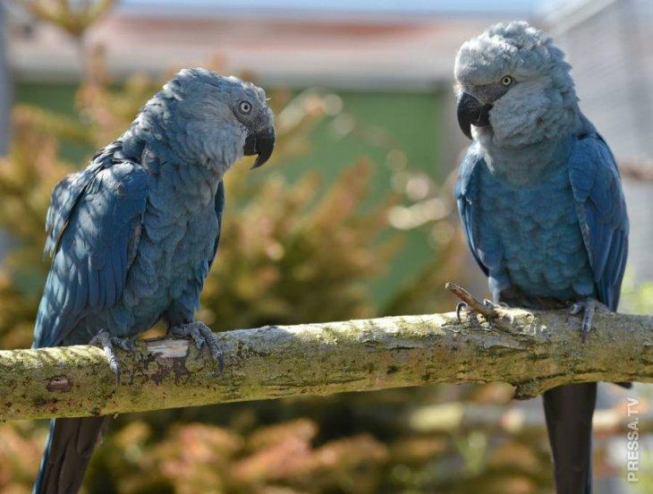 Попугай Голубой ара - вдохновитель фильма