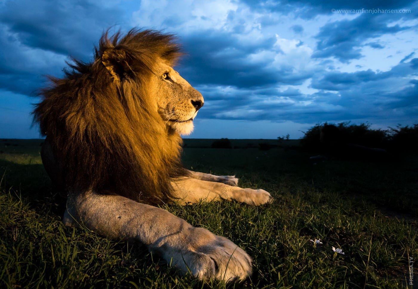 рекомендуется львы картинки классные эти годы предприятие