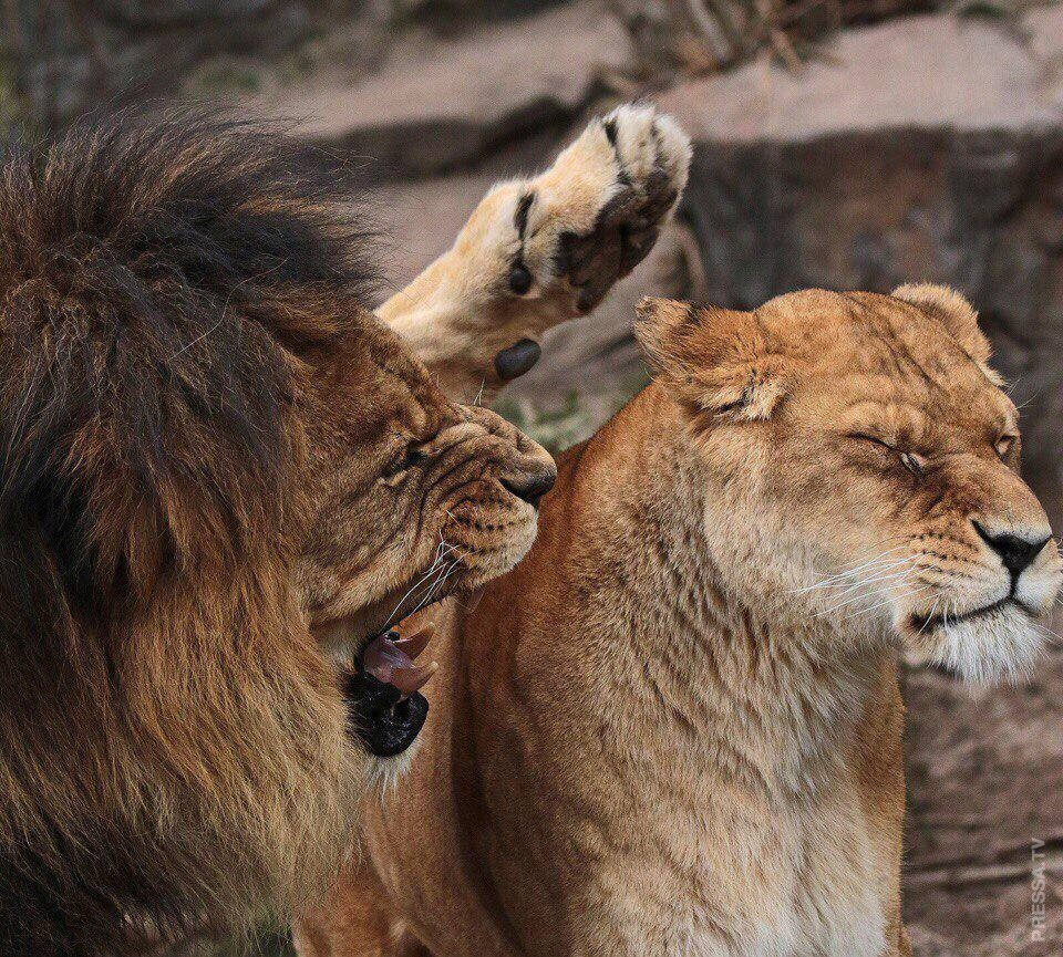 Картинки лев с львицей прикол