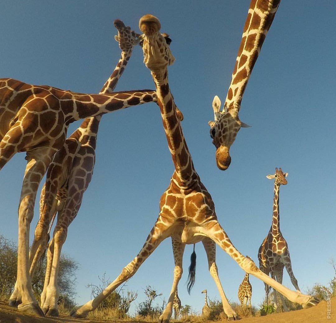 Смешные жирафы в картинках
