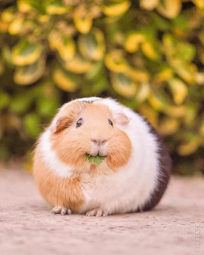 Картинки морских свинок фото