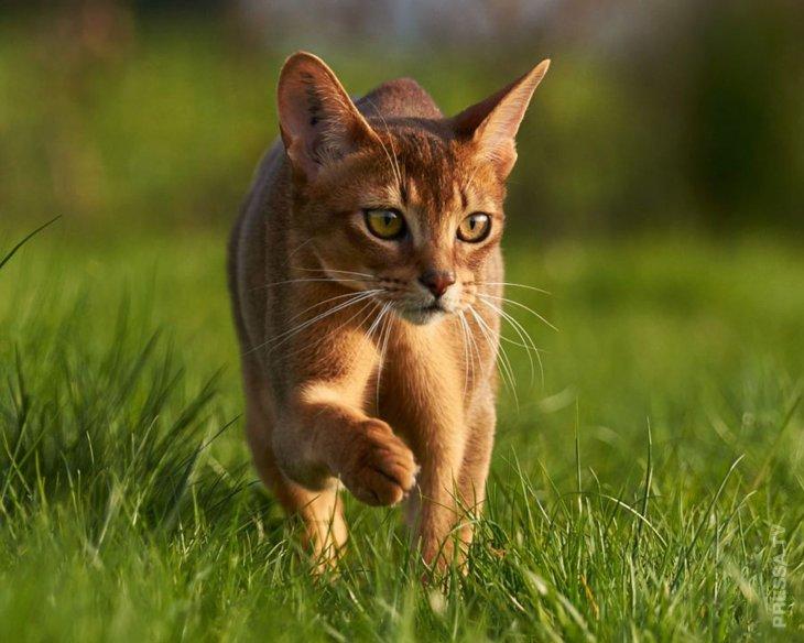 амилоидоз у абиссинской кошки