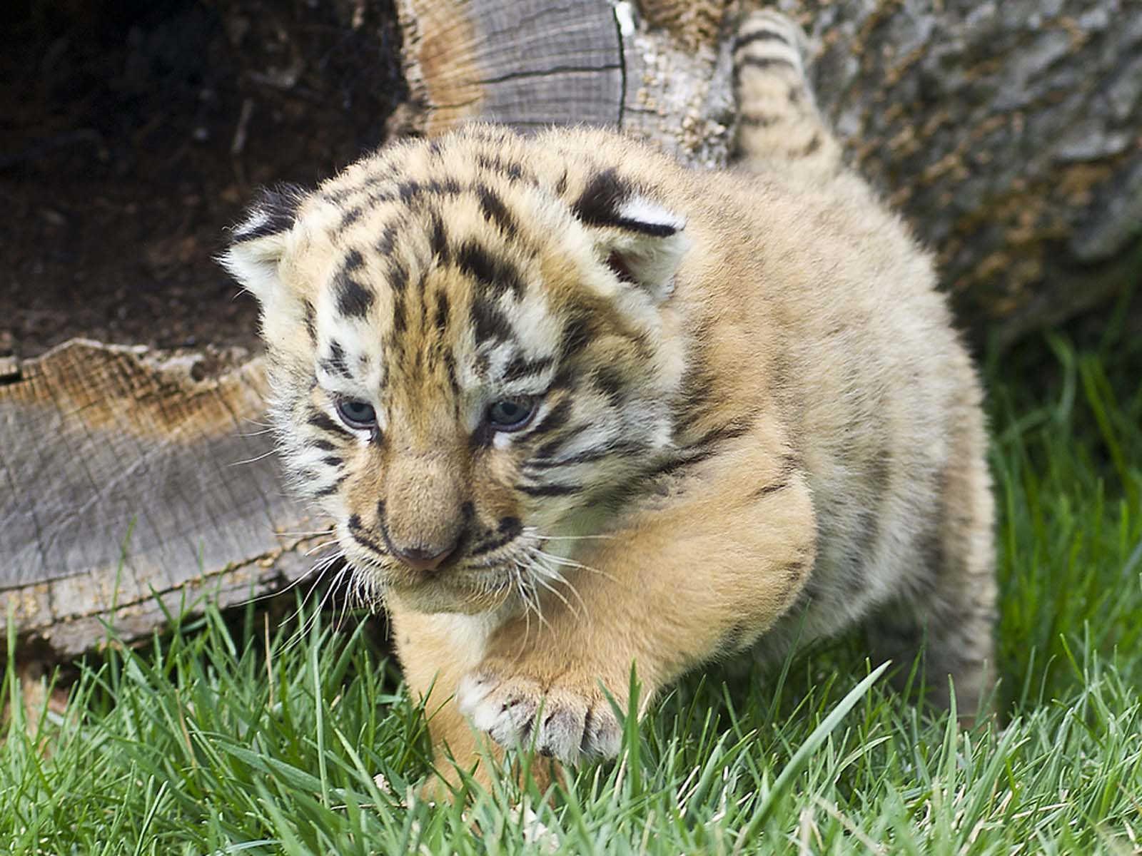 компактная красивые картинки маленьких тигрят ребенок тоже отличался