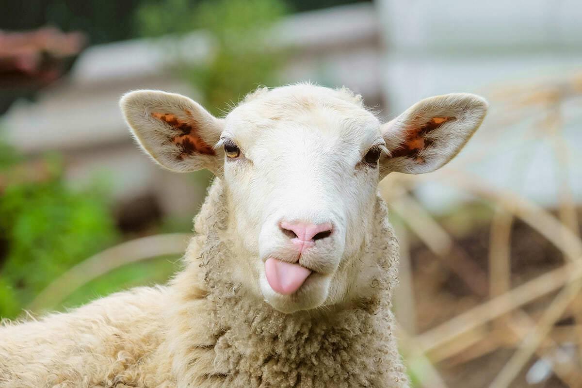смешные бараны фото животных