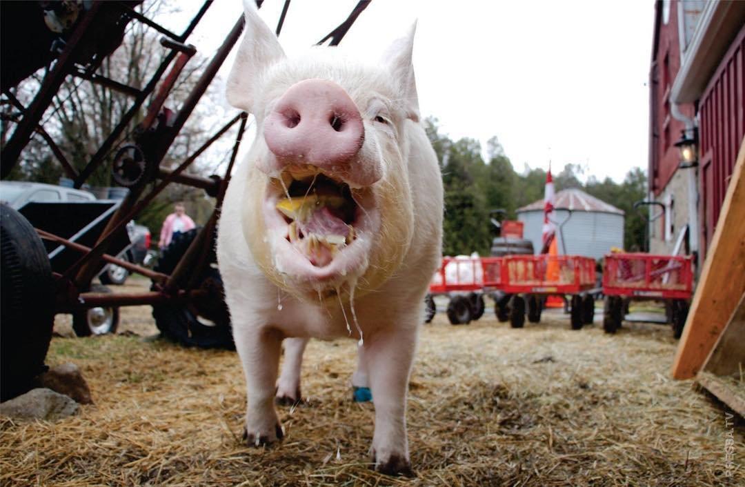 вспоминаем лучшие самая большая свинья в мире фото является