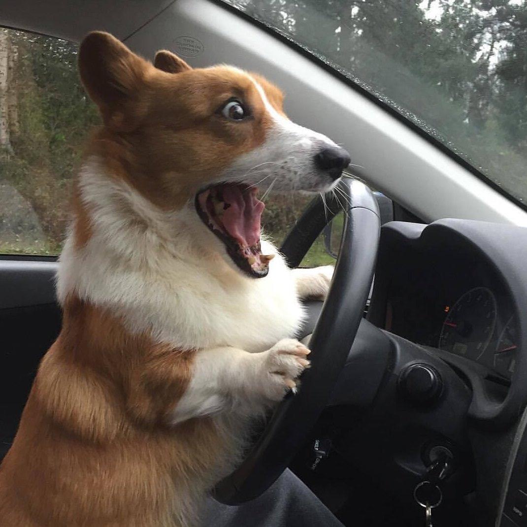 собака за рулем картинки смешные меня