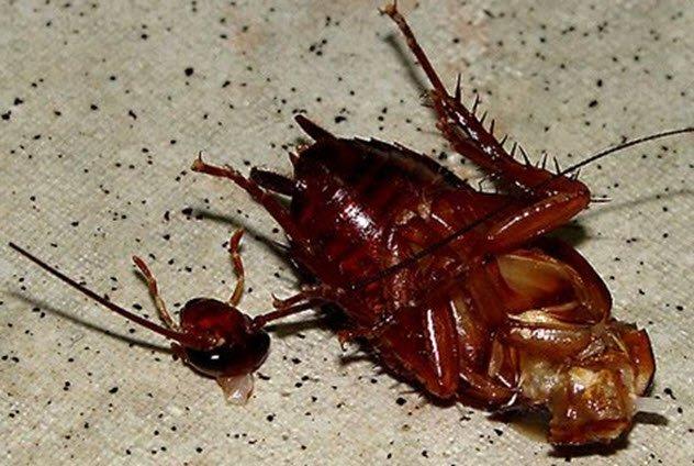 Отвратительные факты о тараканах