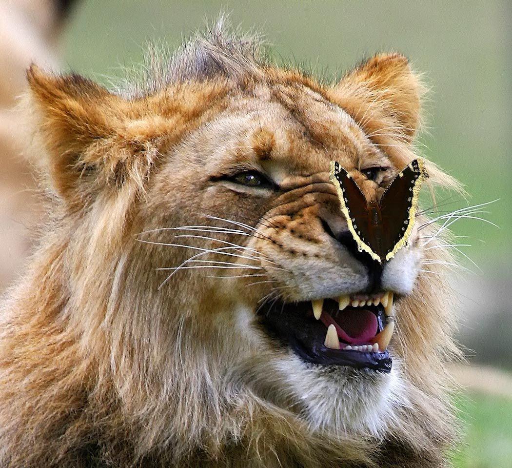 львы картинки классные нелегким