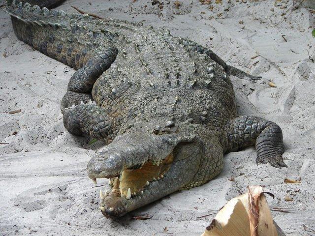 Крокодил Фиделя Кастро укусил за руку шведского пенсионера